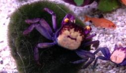 Crabe vampire - Geosesarma bogorensis  15 euros