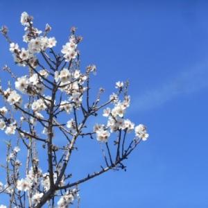 amandiers en fleurs