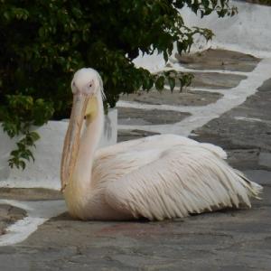 la mascotte petros le pelican