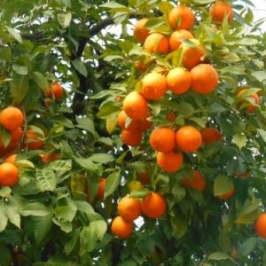 Sevilla oranges ameres
