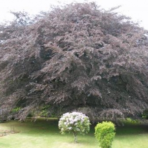 L'arbre remarquable de Sibret.