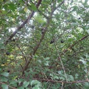 2. Les prunelles sont rares...