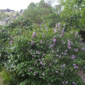 Une vue d'arbustes, du nord vers le sud.