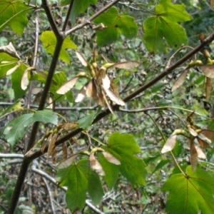 Branches d'erable avec helices, face a la ferme Darte.