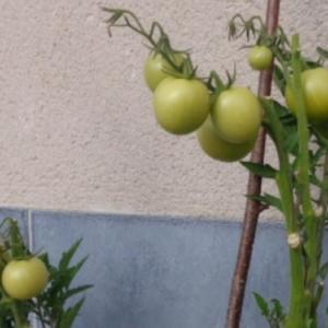 9.Tomates, gros plan