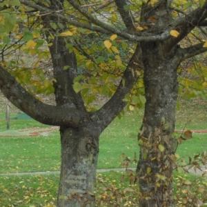 Le golf, arbre remarquable.
