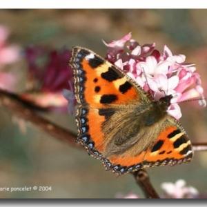 Papillon typique de Belgique