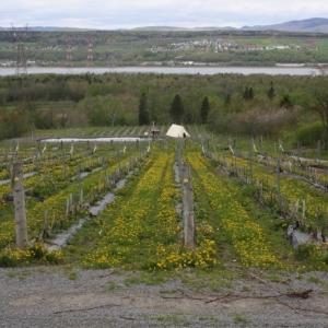 les vignes sur l'île d'orléans