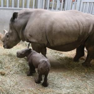 Naissance d'un Rhinocéros blanc du Sud à Pairi Daiza !
