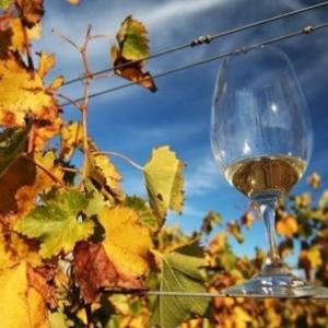 Les vendanges de septembre en Moravie du Sud