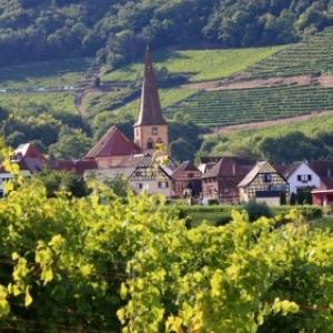 Parmi les vignes de l Alsace
