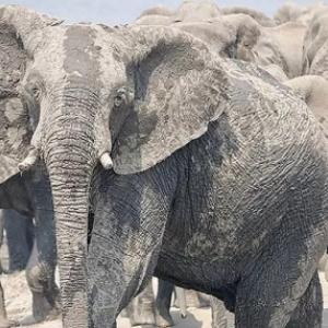 """""""Au plus pres des Elephants : De tendres Geants"""" (c) Jens Westphalen et Thoralf Grospitz"""