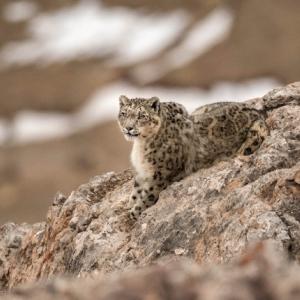 """Panthere des Neiges"" (""Mineral Animal""/Tibet) (c) Vincent Munier"