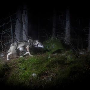 """Conference : """"Loup, sur les traces d une ombre"""", par (c) Sebastien De Danieli"""