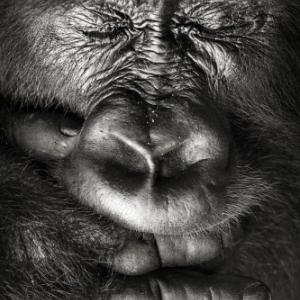 """""""Beringei, les Gorilles du Rift"""" (""""Ilot des Bateliers"""") (c) Sebastien Meys (Fr.)"""