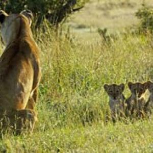 """""""Serengeti"""" (c) John Downer Productions/""""BBC Worldwide"""""""