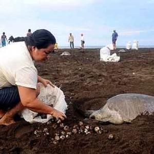 Extinction de la tortue de mer au COSTA RICA-07