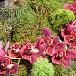 orchidee-5407