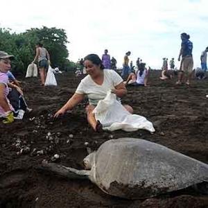 Extinction de la tortue de mer au COSTA RICA-13