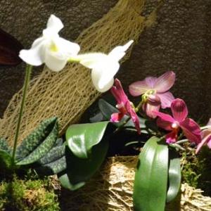 orchidee-5421