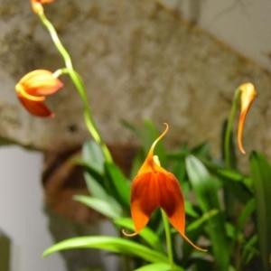 orchidee-5427