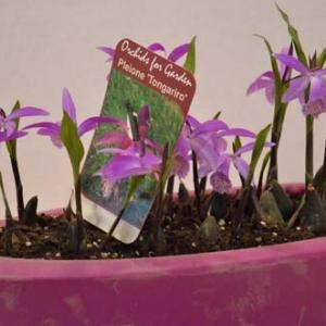 orchidee-5418