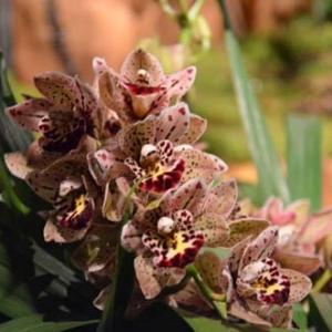 orchidee-5428