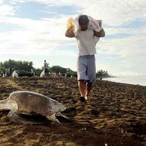 Extinction de la tortue de mer au COSTA RICA-37