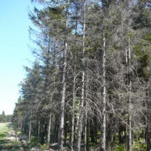 Epiceas plantes en terrain inapproprie ( 25 ans )