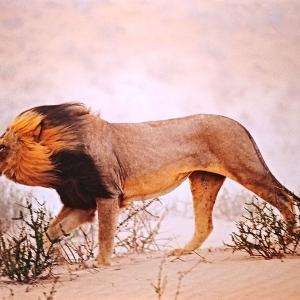 Chris Johns | Lion | Afrique du Sud | 2001