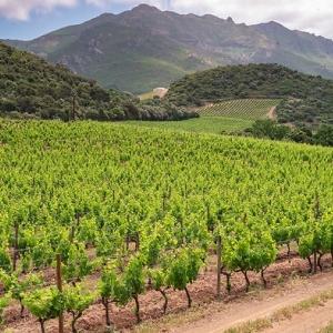 20 Conca d'Orú, vignoble de Patrimonio - golfe de Saint-Florent (Corse)