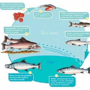 Le cycle du saumon