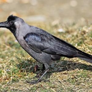 4 Le corbeau familier