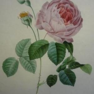 PJ Redoute Rose Adelaide