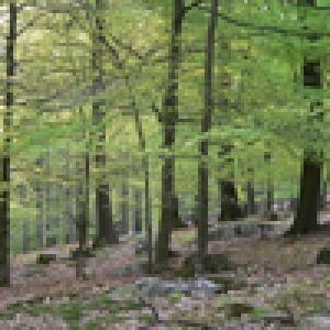 Bois des Ducs   Hertogenwald ( Copyright TAO )
