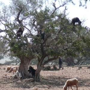 Chevres broutant dans les arganiers