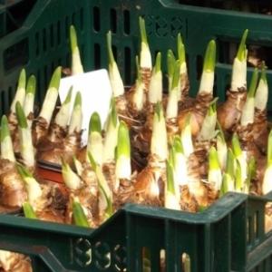 Germes de tulipes