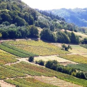 Les collines occupees par les vignobles
