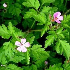 Le géranium herbe à Robert