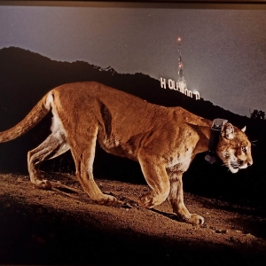 Steve Winter | Un puma mâle, capté par une caméra cachée, à Los Angeles | États-Unis | 2013