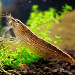 Crevette Bambou Nettoyeuse - Atyopsis Moluccensis  15 euros