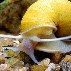 Escargot Orange Nettoyeur - Ampularia Austalis  3,25 euros