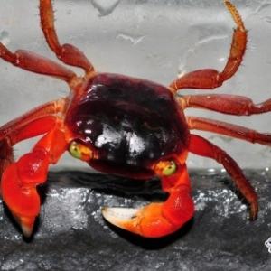 Crabe Tomato Nettoyeur - Metasesarma Aubryi  15 €