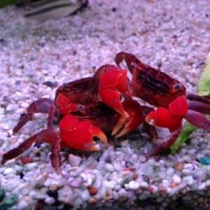 Crabe Tomato - Metasesarma Aubryi  15 euros