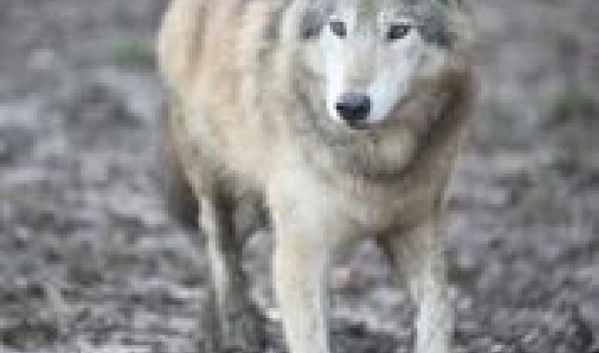 Première meute de loups à Pairi Daiza