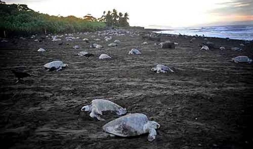 Extinction de la tortue de mer au COSTA RICA-04