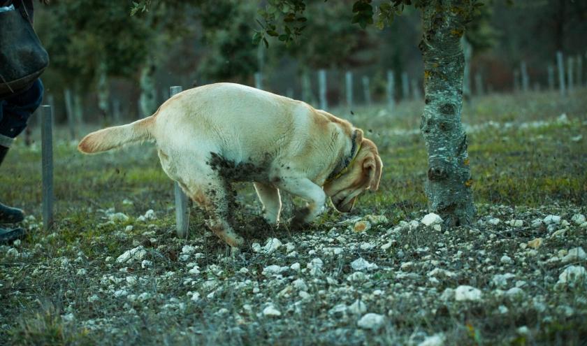 La saison de la Truffe Noire est ouverte…Pascale & Patrick Duler - Maison Duler  Domaine de Saint-Géry - Lascabanes