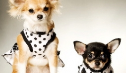 Kendra et shana les chihuahua de nathalie de ougree - mannequins du mois