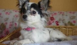 Luna ,le petit chihuahua de Paola corio