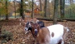 le personnel d accueil - marguerite (la noire) - biquette (la beige et blanc) - clementine (la beige)